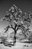 约书亚树丝兰在沙漠 库存照片