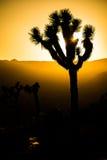约书亚树剪影在日落期间的 免版税图库摄影