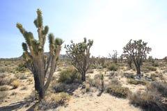 约书亚树在加利福尼亚沙漠 库存图片