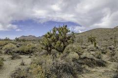 约书亚树在弗里曼峡谷 免版税库存图片