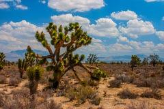 约书亚树在莫哈维族沙漠,内华达 图库摄影