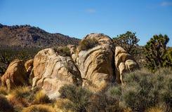 约书亚树在莫哈韦沙漠国家公园在内华达 库存照片
