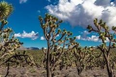 约书亚树森林在亚利桑那沙漠 免版税库存图片