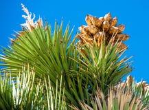 约书亚树的上面 库存图片