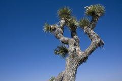 约书亚树 库存图片
