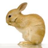 约会兔子 免版税库存图片