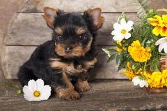 约克夏小狗和花 库存图片