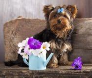 约克夏小狗和花 图库摄影