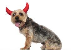 约克夏狗佩带的垫铁和气喘 免版税库存图片