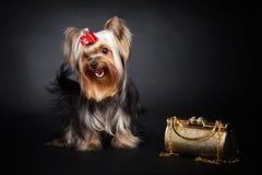 约克夏狗和金袋子 库存图片