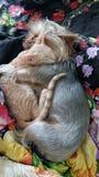 约克夏狗在与一只东方小猫的容忍睡觉 库存照片