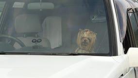 约克夏狗在等待它的所有者的汽车沙龙坐夏日 慢的行动 股票录像