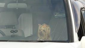 约克夏狗在等待它的所有者的汽车沙龙坐夏日 4K 股票录像