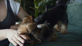 约克夏狗坐椅子在客厅是滑稽使用与一个小球 妇女` s手特写镜头  影视素材
