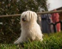 约克夏狗外面在绿色草坪和房子背景 图库摄影