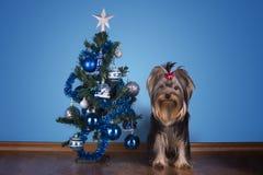 约克夏狗小狗在圣诞树附近坐 库存图片