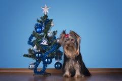 约克夏狗小狗在圣诞树附近坐 免版税库存图片