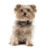 约克夏狗开会,被隔绝 免版税库存照片