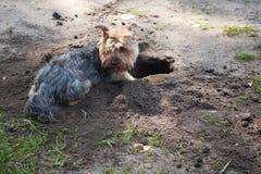 约克夏狗是狗类型一个小狗品种,被开发在19世纪期间在约克夏,英国,捉住鼠 免版税库存图片