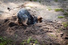 约克夏狗是狗类型一个小狗品种,被开发在19世纪期间在约克夏,英国,捉住鼠 免版税库存照片