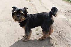 约克夏狗照片 免版税库存图片