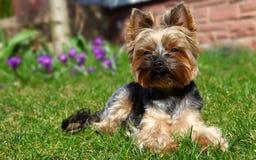 约克夏狗狗 库存图片