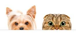 约克夏狗画象和苏格兰人折叠偷看从横幅的后面猫 免版税库存图片