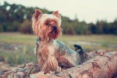 约克夏狗的一条狗沿树干走和勇敢地探索狂放的森林的世界 免版税库存照片