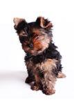 约克夏狗的小狗 免版税库存图片