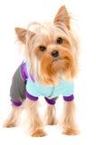 约克夏狗的画象在一套温暖的衣服的 库存图片