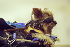 约克夏狗的画象 库存图片
