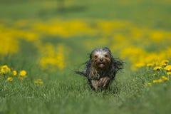 约克夏狗跑往照相机 图库摄影