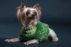 约克夏狗 一条狗的照片在黑背景的 库存图片