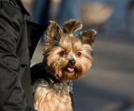 约克夏狗 免版税库存照片