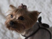 约克夏狗 库存照片
