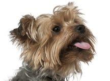 约克夏的接近的狗 库存图片