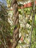 约束植物 免版税库存图片