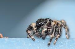 黑约翰逊跳跃的蜘蛛 免版税图库摄影