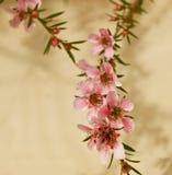 级联开花leptospermum粉红色弹簧 图库摄影