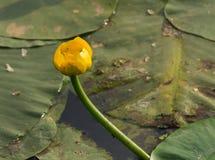 纯净的水库植物 黄色水百合拉丁名字黄睡莲lutea花蕾,野生生物照片 免版税库存图片