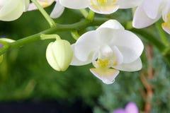 纯净的白色兰花植物 免版税库存图片