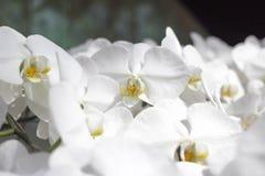 纯净的白色兰花花在庭院里 库存图片