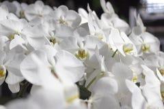 纯净的白色兰花花在庭院里 免版税库存照片