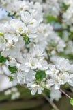 纯净的白色和玫瑰色颜色苹果树开花春天室外背景 免版税库存图片