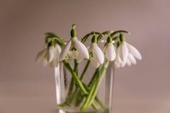 纯净的白色春天snowdrop在米黄背景开花 库存照片