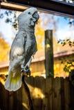 纯净的白色美冠鹦鹉在奥兰多,佛罗里达 免版税库存照片