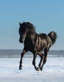 纯净的养殖的西班牙黑公马在雪草甸疾驰 免版税库存图片