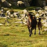 纯净的养殖的Dartmoor母马&驹 图库摄影