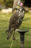 纯净的Saker猎鹰 免版税库存照片