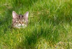 纯掠食性动物-家猫 免版税库存图片